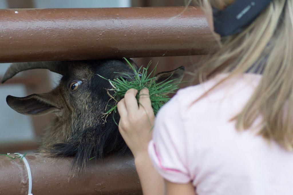 Állatsimogató: kecske etetés