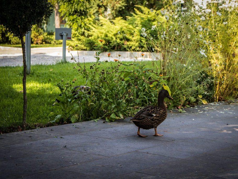 Hangulatképek: kacsa a parkban
